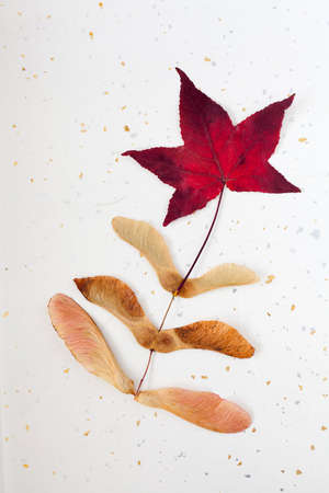 silver maple: Autumn maple leaf and seeds on silver and gold textured paper Stock Photo