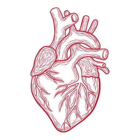 Übergeben Sie gezogenes anatomisches Herz des Vektors, die roten Entwürfe, die auf weißem Hintergrund lokalisiert werden