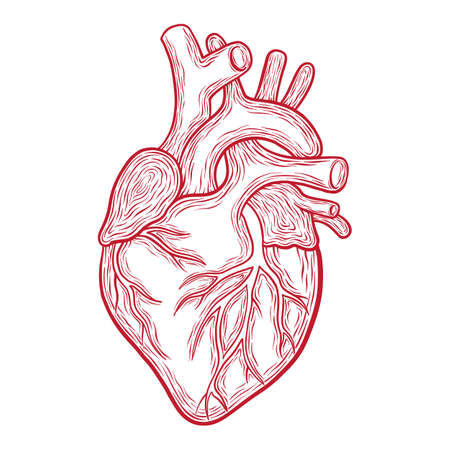 Hand drawn vector anatomic heart, red outlines isolated on white background