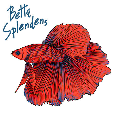 Hand drawn vector red Betta Splendens fish isolated on white background