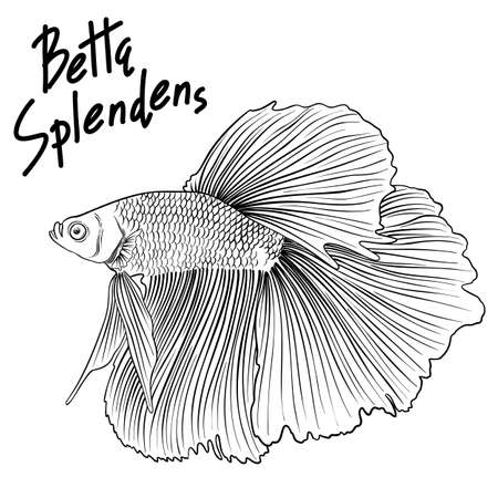 Hand drawn vector black and white outline Betta Splendens fish isolated on white background