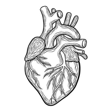 Hand drawn vector anatomic heart, black outlines isolated on white background