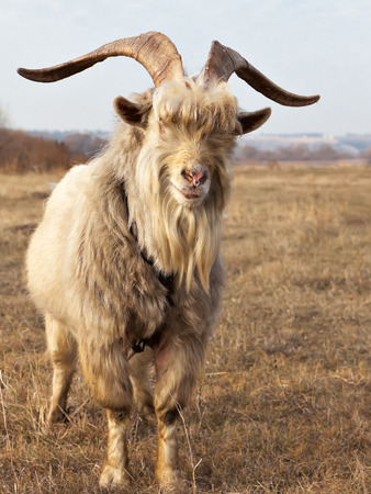 Old unkempt goat with big horns on dried pasture.