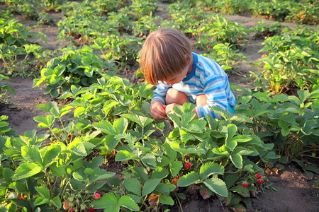 The little boy picked strawberries in  garden. Stok Fotoğraf
