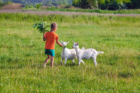 Boy treats young goats sprig of willow on meadow. Stok Fotoğraf