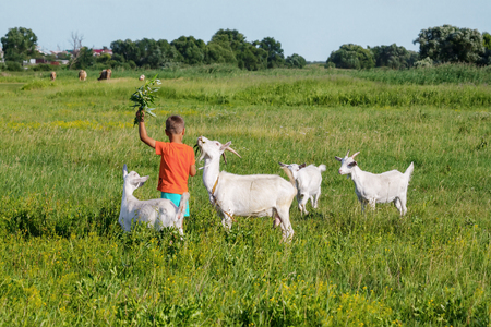 tending: Boy tending goats on a green meadow. Stock Photo