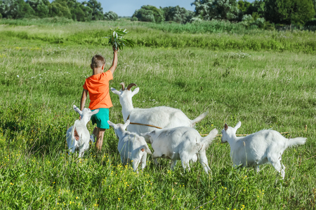 Boy playing with goats on green meadow.