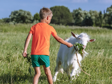 Boy treats  goat sprig of willow on meadow.