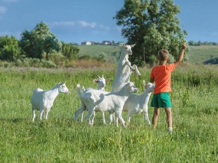 緑の牧草地に若いヤギと遊ぶ少年。 写真素材 - 43268812