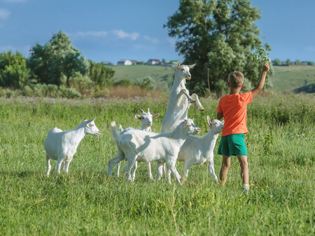 Boy playing with young goats on  green meadow.