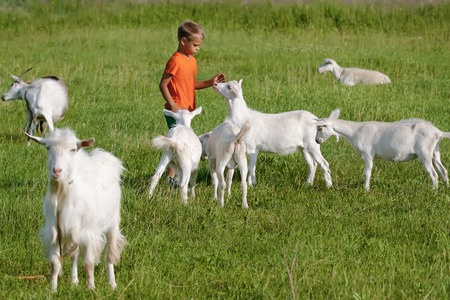 Kid playing with goats on  green meadow. Stok Fotoğraf