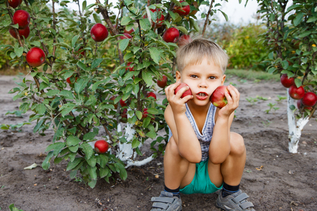 Child helping in the garden to pick apples.