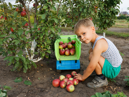 Boy collects apples and folds into a truck.