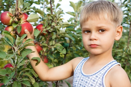 Kid plucks ripe apples from the tree.