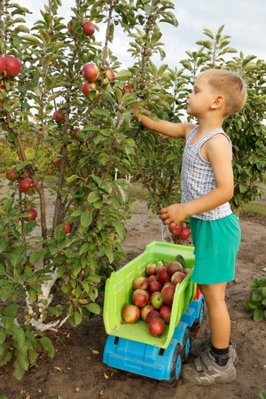 子供はリンゴを収集し、トラックに折る。 写真素材 - 43296271