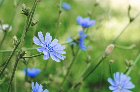 Blauwe cichoriumbloemen op het gebied