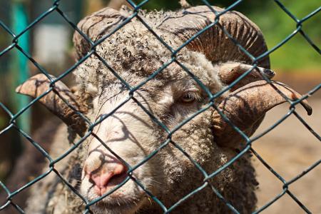 Closeup view of a ram through a mesh fence