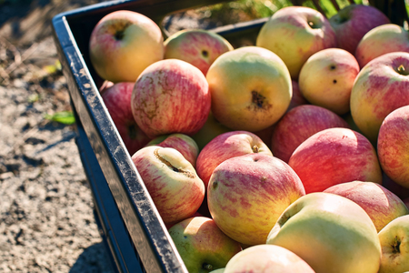 Fresh harvested apples in the crate