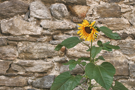 Beautiful yellow sunflower on old stone wall background