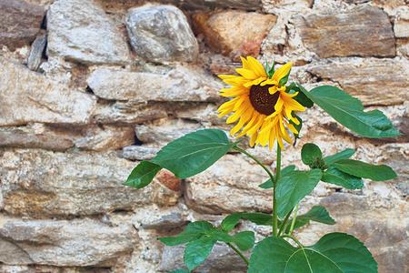 Beautiful yellow sunflower on old stone wall background