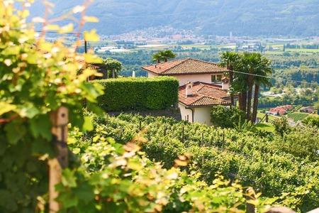 Beautiful Swiss grapeyard in Alps