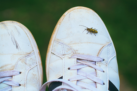 Rutpela maculata, the spotted longhorn beetle sitting on a white dirty sneaker shoe Stock Photo