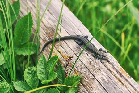 Common or viviparous lizard, zootoca vivipara on an old wooden log in fresh green grass Stock Photo
