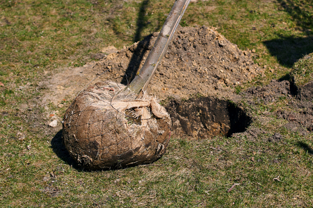 Young deciduous tree with a root ball wrapped in burlap ready to be planted in a digged hole on a spring day Stock Photo