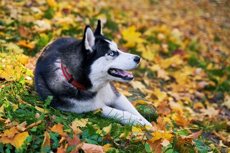 Cute young happy husky dog lying on beautiful red and yellow fallen leaves in autumn park or forest