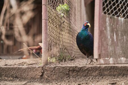 Male melanistic mutant common pheasant on the bird breeding farm. It is wearing plastic beak attachment to prevent feather pecking and fights.