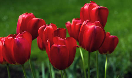 Dramatic blood-coloured dark red tulips on green springtime grass background.