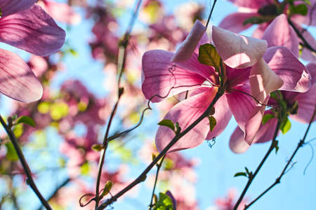 Low angle shot of beautiful magnolia flowers and branches on blue spring sky background.