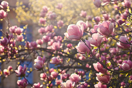 Gorgeous blooming purple magnolia tree with many beautiful flowers on a sunny spring day.