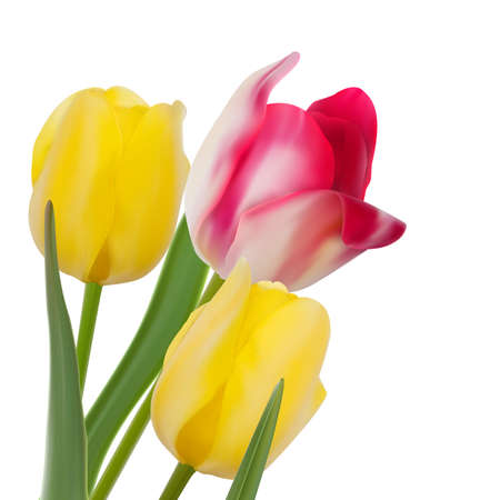 Tulip composition on White Background. And also includes EPS 10 vector photo