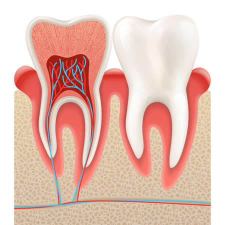 Dental concept, Human teeth. Tooth anatomy closeup cut away. EPS 10 vector file included Illustration