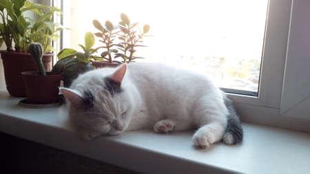 White cat sleeping by window. 版權商用圖片