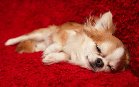 Portrait of a cute purebred chihuahua sleeping on red background photo