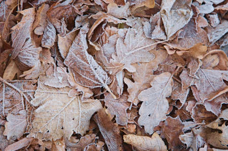 Frozen oak and maple leaves in the park, autumn & winter background photo