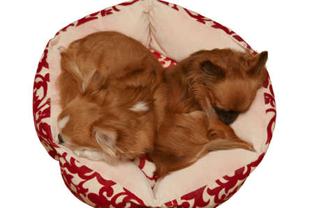 Top view of two cute chihuahua sleeping in the dog bed. Isolated on white photo