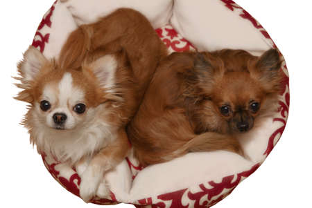 lap of luxury: Top view of two cute chihuahua looking up. Isolated on white