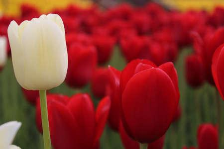Červený a bílý tulipán