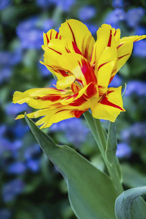 Parrot Tulip vivid yellow-red flower on dark purple - green background  photo