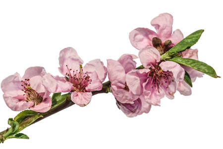 Japanese Cherry Plum branch with spring pink blossom photo