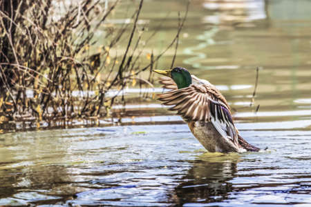 Mallard Drake spreading wings, preparing to fly off  photo