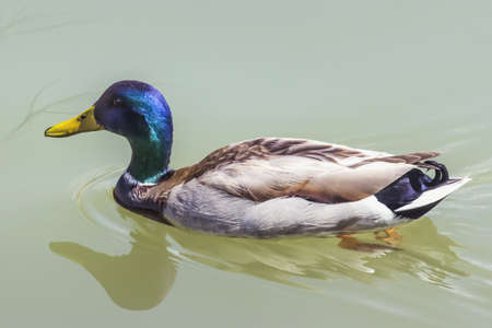 Mallard Drake swimming on a river, leaving rippled trace  photo