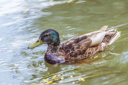 Young Mallard Drake swimming on a river, leaving rippled trace  photo