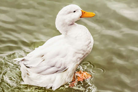 Domestic Duck preparing to fly off from the rippled water surface  photo