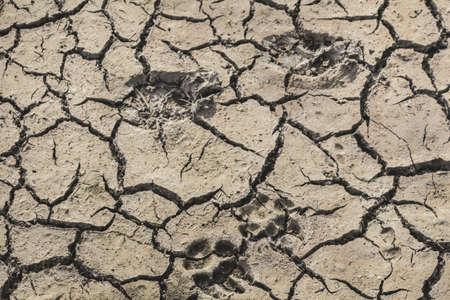 muddy tracks: Photograph of animal footprints on desolate, barren, dry cracked soil
