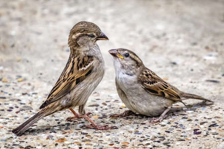 Photograph of youngling, yellow-beak Sparrow and its parent - interacting  eye to eye  photo