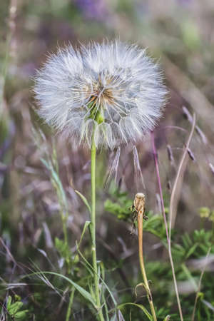 Close-up photograph of the downy Blowball seed head of Dandelion, made in late May Stock Photo - 21964865